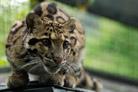 Fotografie k aktualitě Zoo Ostrava končí s rysy kanadskými a chová nový druh – vzácného pardála obláčkového (foto)